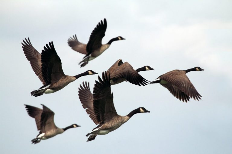 WIld Geese - Mary Oliver
