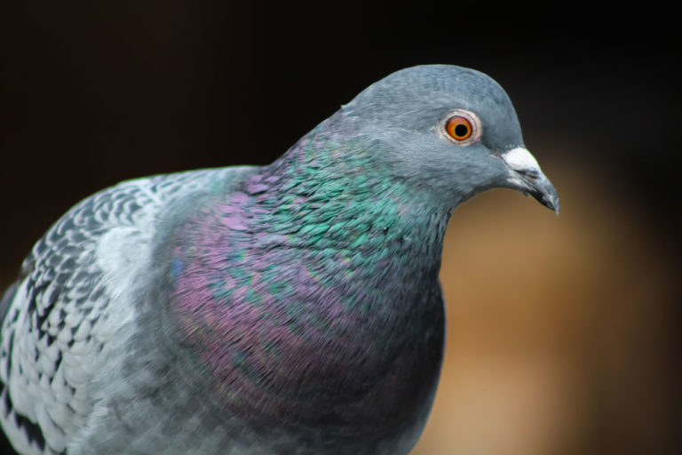 mindfulness and pigeons with rainbow throats