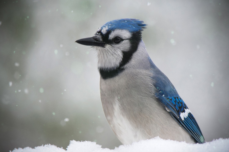 A-Winter-Bluejay