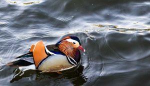 The Little Duck - Donald Babcock